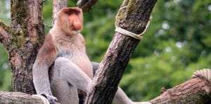 Bako National Park Borneo bezoeken Neusaap